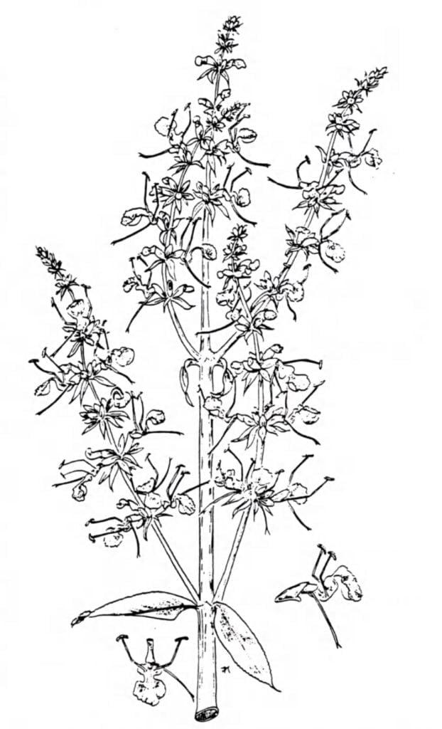 Wissenschaftliche Zeichnung Weisser Salbei